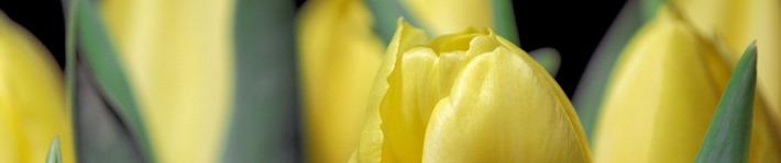 Header Tulpen