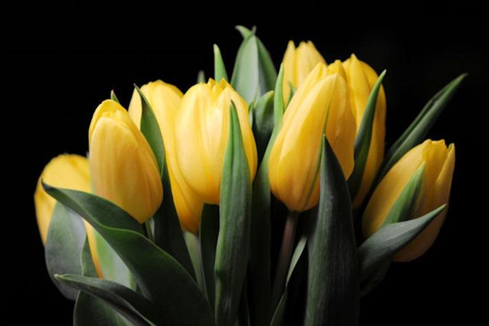 Tulpen 23a