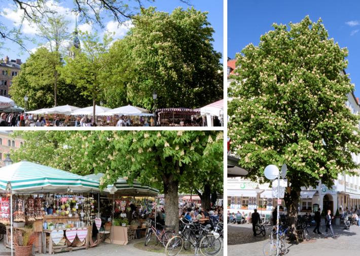 Kastanienblüte Viktualienmarkt