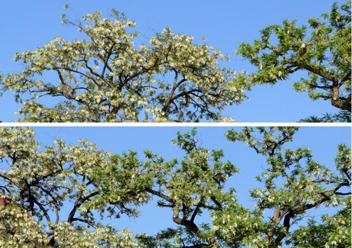 Robinienblüte Viktualienmarkt
